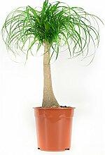 BOTANICLY | Zimmerpflanze | Beaucarnea Nolina | 80