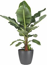 BOTANICLY Zimmerpflanze | Exotische Bananenpflanze