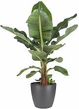 Botanicly Zimmerpflanze – Exotische
