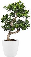 BOTANICLY   Zimmerpflanze   Ficus Gin Seng Bonsai