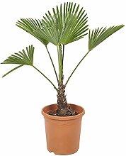 BOTANICLY   Zimmerpflanze – Hanfpalme   Höhe: