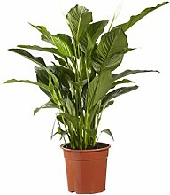 BOTANICLY | Zimmerpflanze | Lepelplant