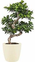 Botanicly Zimmerpflanzen – Bonsai Baum – Ficus
