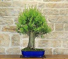 Bottlebrush bonsai tree (10)