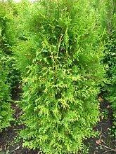 Brabant Lebensbaum Thuja occidentalis Brabant