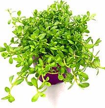Brahmi Pflanze die Gedächnisstütze Bacopa