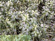 Brahmikraut Kräuter Pflanze 12er Topf