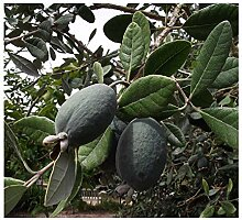 Brasilianische Guave Ananas-Guave Acca sellowiana