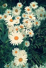 Braun: 100 Teile/beutel Gerbera Daisy Seeds New