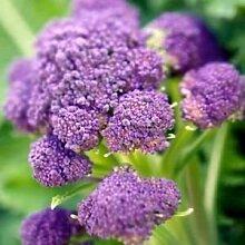 Broccoli Purple sprießen Gemüsesamen (Brassica