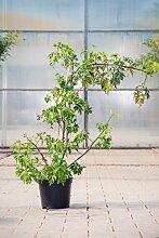 Brombeere Thornless Evergreen, 30-40 cm,