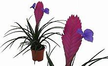 Bromelie (Tillandsia cyanea), Sorte: Anita,