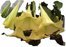 Brugmansia, Engelstrompete, Gelb. Supergrosse