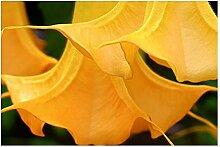 Brugmansia Orange Glory - Engelstrompete - 5 Samen