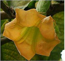 Brugmansia sanguinea Aurea - Goldene
