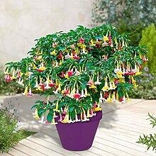 """Brugmansia suaveolens """"Tricolor""""   3er Set  """