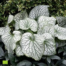 "Brunnera macrophylla""Alexanders Great"" 