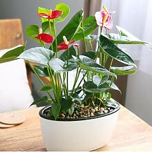 Bshopy 120 stücke anthurium bonsai indoor topf