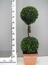 Buchsbaum 2er Kugel, Höhe: 90 cm, Bonsai, Buxus