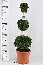Buchsbaum 3er Kugel, Höhe: 110-120 cm, Bonsai,