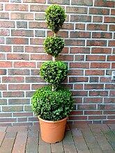 Buchsbaum 4er Kugel, Höhe: 110-120 cm, Bonsai,