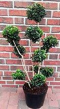 Buchsbaum Bonsai, Buxus PomPon, Höhe: 110-120 cm,