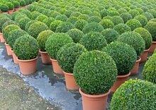Buchsbaum - Buxus Sempervirens var. arborescens im