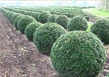Buchsbaum - Buxus Sempervirens var. arborescens -