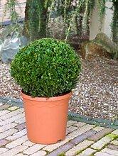 Buchsbaum, ca. 45 cm, Balkonpflanze ganzjährig-immergrün, Terrassenpflanze sonnig-halbschattig-schattig, Kübelpflanze Südbalkon-Westbalkon-Ostbalkon-Nordbalkon, Buxus sempervirens, im Topf