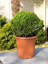 Buchsbaum, ca. 55 cm, Balkonpflanze ganzjährig-immergrün, Terrassenpflanze sonnig-halbschattig-schattig, Kübelpflanze Südbalkon-Westbalkon-Ostbalkon-Nordbalkon, Buxus sempervirens, im Topf