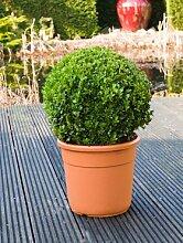 Buchsbaum, ca. 65 cm, Balkonpflanze ganzjährig-immergrün, Terrassenpflanze sonnig-halbschattig-schattig, Kübelpflanze Südbalkon-Westbalkon-Ostbalkon-Nordbalkon, Buxus sempervirens, im Topf