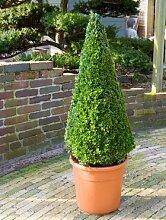 Buchsbaum, ca. 90 cm, Balkonpflanze ganzjährig-immergrün, Terrassenpflanze sonnig-halbschattig-schattig, Kübelpflanze Südbalkon-Westbalkon-Ostbalkon-Nordbalkon, Buxus sempervirens, im Topf