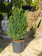 Buchsbaum, ca. 95 cm, Balkonpflanze ganzjährig-immergrün, Terrassenpflanze sonnig-halbschattig-schattig, Kübelpflanze Südbalkon-Westbalkon-Ostbalkon-Nordbalkon, Buxus sempervirens, im Topf