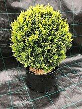 Buchsbaum Kugel 40cm - Buchsbaumkugel, Buxus