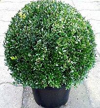 Buchsbaum - Kugel, Buxus sempervirens,