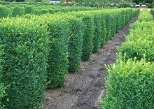 Buchsbaum quadratisch - Buxus Sempervirens var.