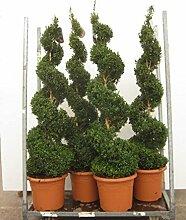 Buchsbaum Spirale, Buxus sempervirens,