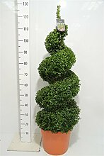 Buchsbaum - Spirale, Höhe: 125-130 cm, Bonsai,