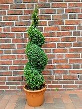 Buchsbaum Spirale, Höhe: 90-100 cm, Bonsai,