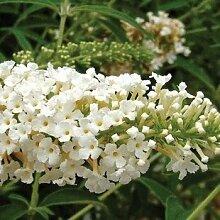 Buddleia Sommerflieder Weiss 1 Pflanze 9cm Topf