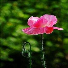 Burgund: Bonsai Fingerhut Samen 100 Stücke 10