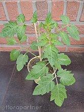 Busch Tomaten Pflanze Lycopersicon esculentum L.