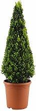 Buxus Sempervirens | Buxus Pyramidenform | Höhe