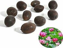 C-LARSS 10 Stück Samen Seerose Blume Pflanze
