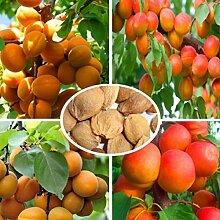 C-LARSS 10 Stück Süße Aprikosensamen, Baum
