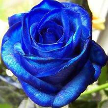 C-LARSS 100 Stück Blue Rose Blumensamen, Blue