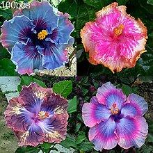 C-LARSS 100 Stück Mischfarbe Hibiskus Samen
