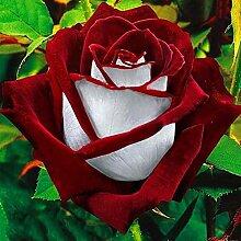 C-LARSS 100 Stück Samen Rot & Weiß Osiria Ruby