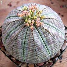 C-LARSS 100 Stück Sukkulenten Pflanzen Kaktus