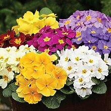 C-LARSS 50 Stück Primel Blumensamen, DIY